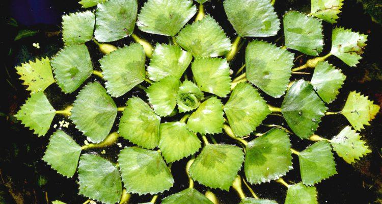 Sulyom növény