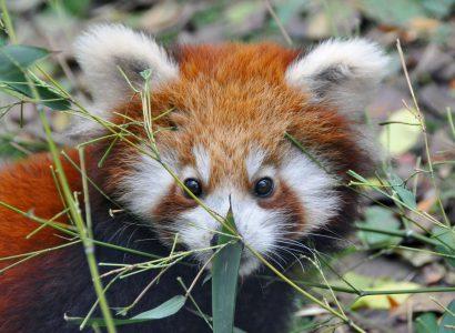 Szekszárd örökbe fogadta a kispandát és támogatja az Állatkert koncertjeit. Fotó: Bagosi Zoltán