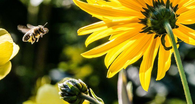 méhcsípés vs vöröshagyma forrás: Pixabay
