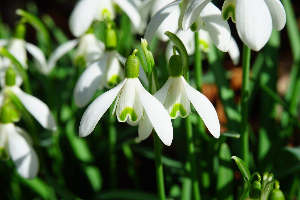 Az év bármije: hóvirág. Forrás: Pixabay