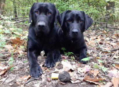 Gombakereső kutyák szarvasgombával
