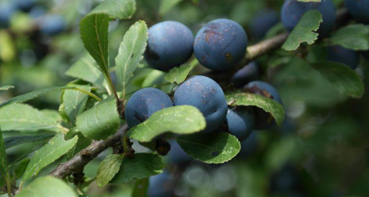 Őszi bogyók: kökény, csipkebogyó, borbolya, bodza