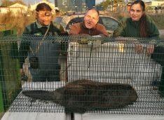 20 kilós hódok rohangálnak Budapest alatt